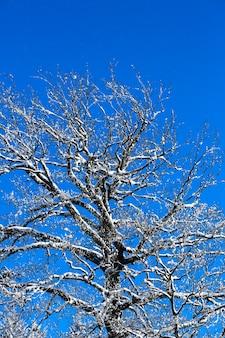 冬の青空の下の木の雪で見る