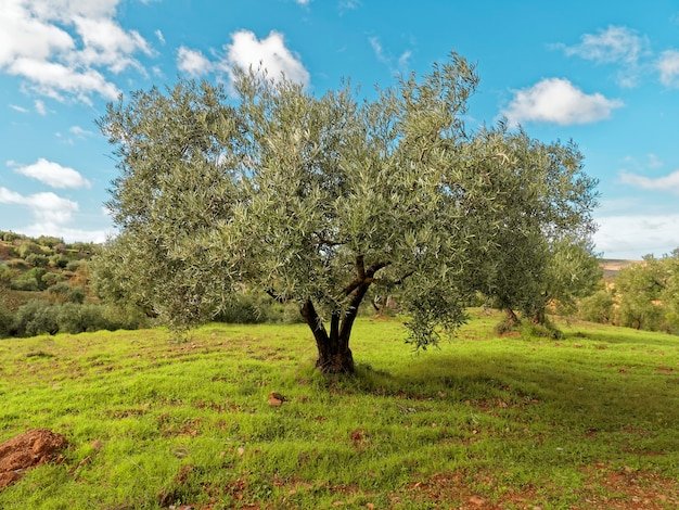 View of a beautiful green olive tree.