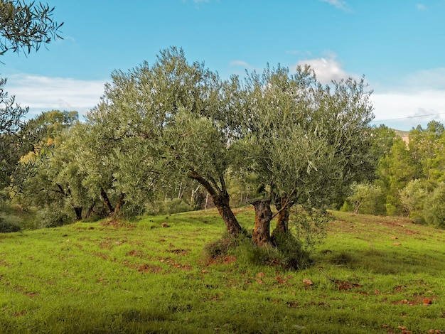 View of a beautiful green olive tree