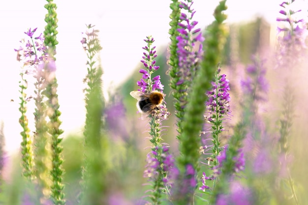 View of the bumblebee that sits on a sprig of veronica.