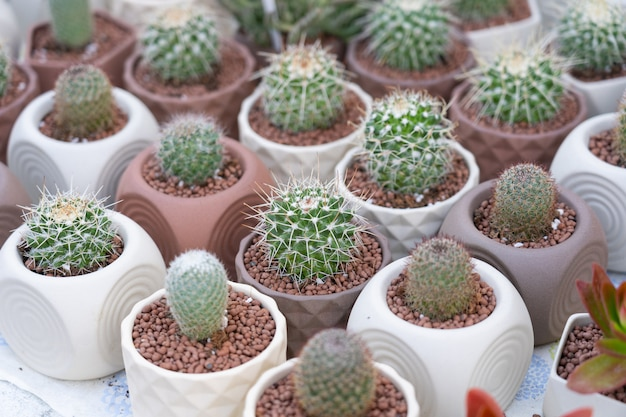 View of cactus growth on small white pot.