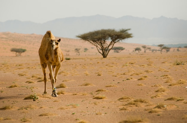 View of a camel calmly roaming in the desert
