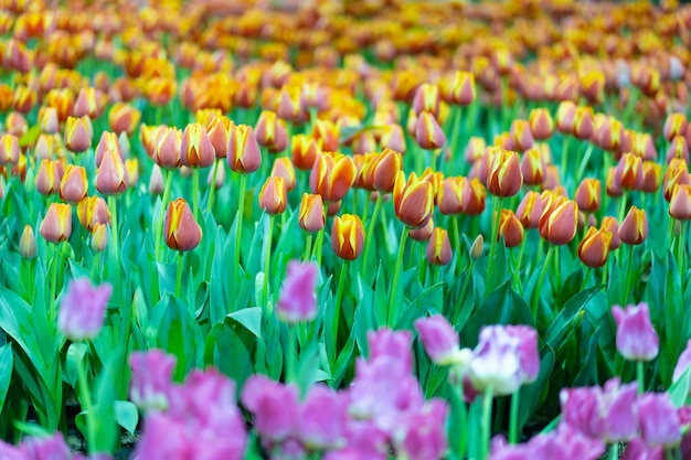 View of colorful tulib flower in spring season.