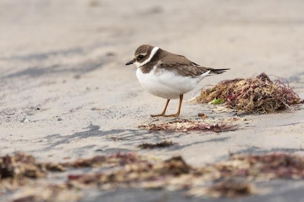 Vista del piviere comune che riposa sulla sabbia della spiaggia con alghe rosse