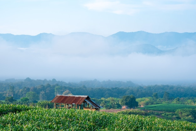 View of corn fields with light fog and beautiful sky in the dry hills of rural thailand.