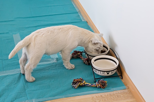 Above view of cute west highland white terrier puppy eats from bowls