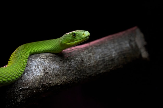 View of a dangerous green mamba snake on a trunk