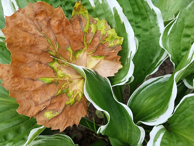 View of a dried grape leaf on a hosta leaf with a beautiful textured pattern. the concept of plants, gardenin.