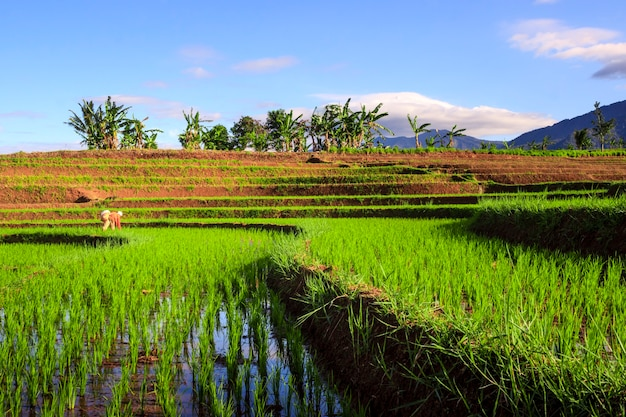 The view of farmers in the rice fields in the morning planting