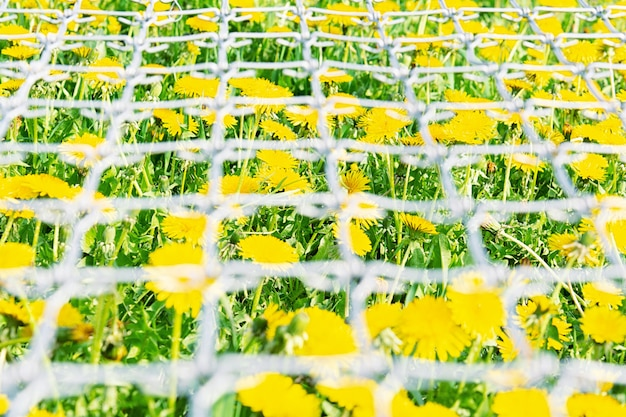 View of a field of dandelions through a metal grid
