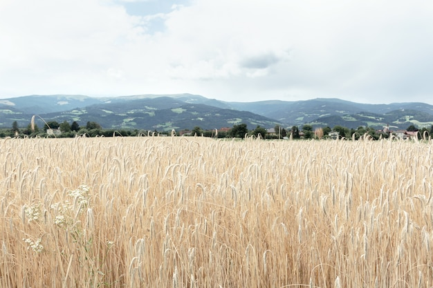 View of a field of ripened spikelets of golden wheat. the concept of agriculture, nature.