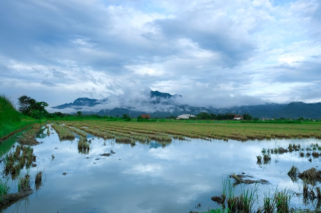 View of filed of rice with blue sky and mountain background