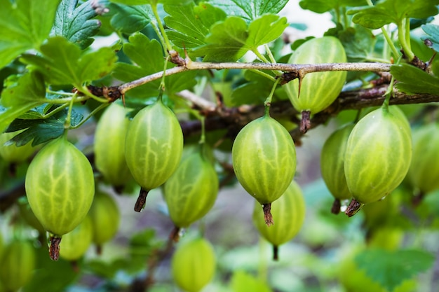 View to fresh green gooseberries on a branch of gooseberry bush in the garden, close up view of the organic gooseberry berry hangs on a branch under the leaves,