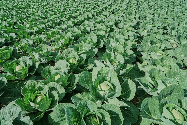 View of a freshly growing cabbage field. top view, sunny day