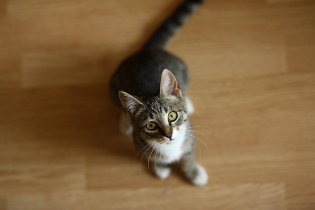 居間の床に座ってカメラを見ているぶち子猫を上から見る