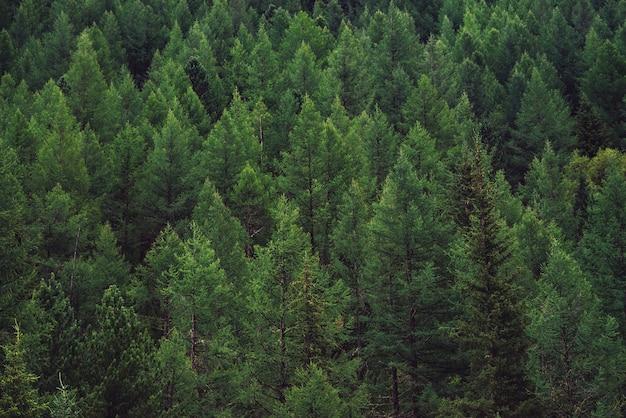 上から針葉樹の頂上までの眺め