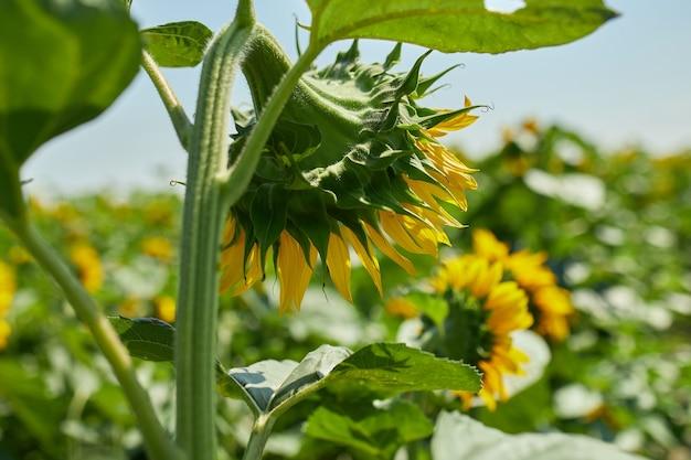 後ろからの眺め輝く黄色の光の中のひまわりの日当たりの良い畑。鮮やかな黄色と満開のヒマワリ、天然油、農業