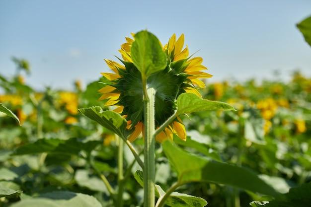 Вид со спины солнечное поле подсолнухов в горящем желтом свете. ярко-желтый и полностью распустившийся подсолнечник, масло натуральное, сельское хозяйство.