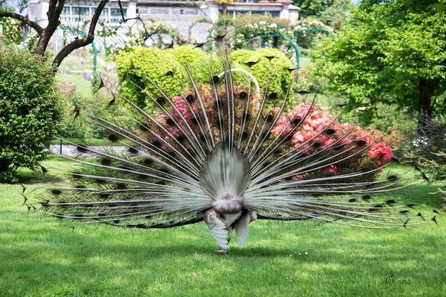 開いた尾の羽を持つ男性の孔雀を後ろから見る