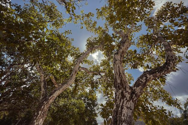 Chichã©nitzã¡マヤの複合体のいくつかのヤシの木を含むいくつかの非常に高い木の下からの眺め。水平ショット。
