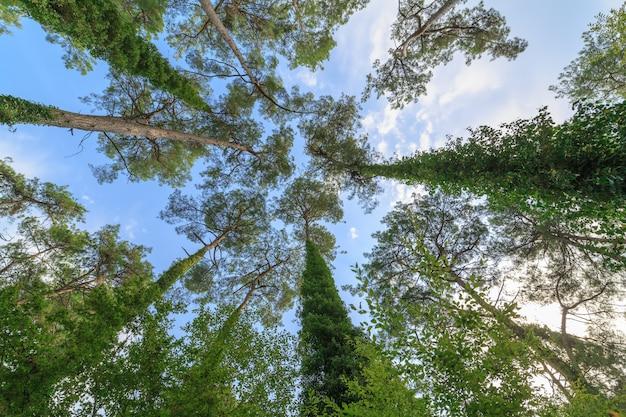 Вид снизу на кроны высоких многолетних сосен