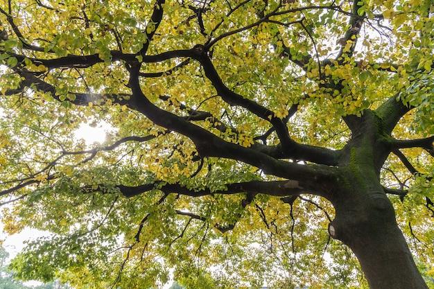 秋になると銀杏の木の下を下から見たところ黄色になりました