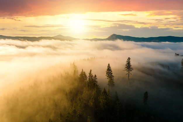 View from above of dark moody pine trees in spruce foggy forest with bright sunrise rays shining through branches in autumn mountains.