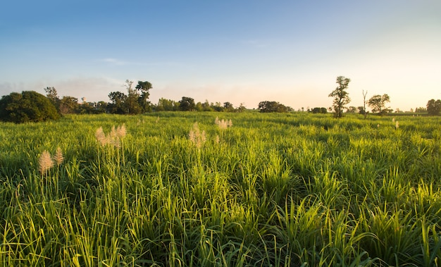 View from drone sugar cane field with blue sky nature landscape background.