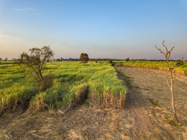 View from drone sugar cane field with sunset sky nature landscape background