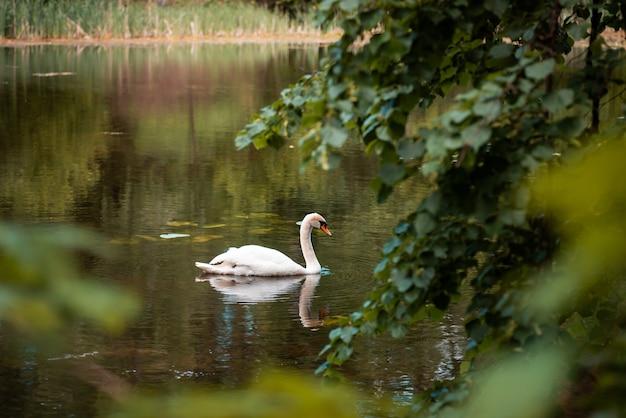 Вид с берега озера на белого лебедя на воде, ветви зеленых деревьев на переднем плане. величественно красивая птица одна на природе, летний сезон.