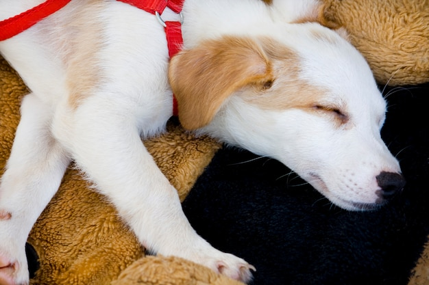 View from above of a white and small domestic dog sleeping on the carpet.