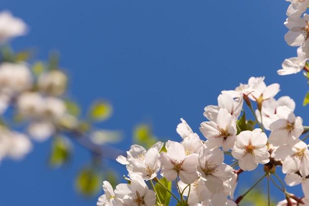 View of full bloom of beautiful white sakura or cherry blossom.