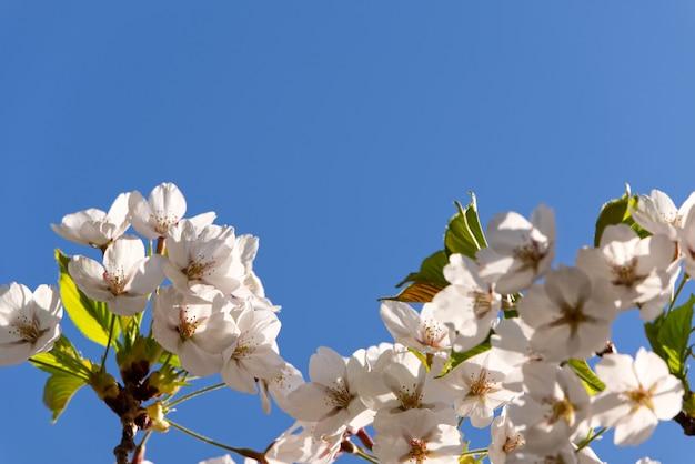 View of full bloom of white sakura or cherry blossom.