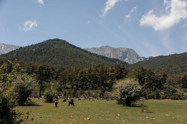 View of grazing animals in front of mountains
