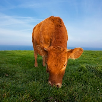 View of grazing cow in normandy, france.