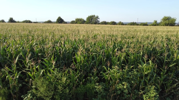 View of a green corn field.