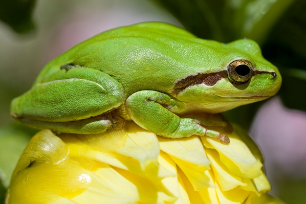 View of a green european tree frog on top of a yellow flower.