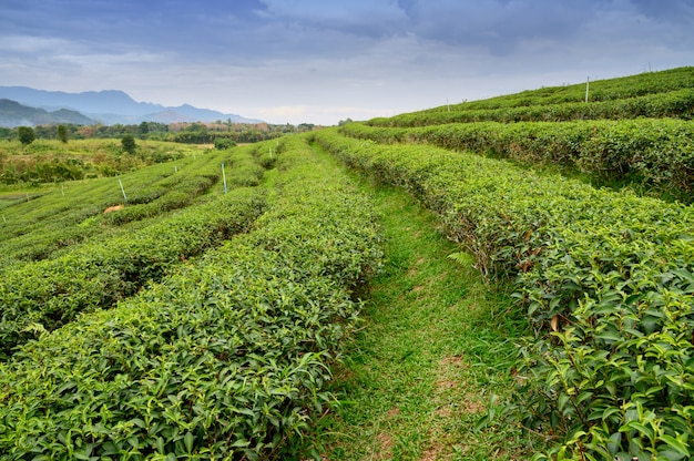 View of green tea plantation on side hill around
