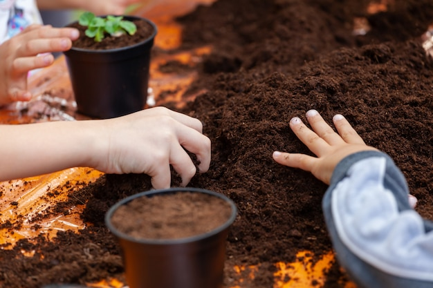 View of  hands toddler planting young beet seedling in to a fertile soil.