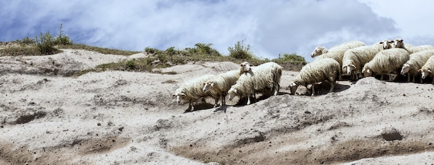 View of a herd of sheep on the edge of a cliff
