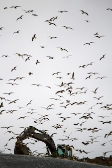 View of a large flock of seagulls surrounding an excavator on trash dump site.