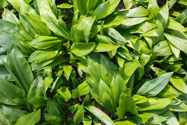 View of a large number of growing wild garlic on top