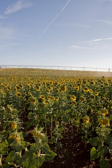 View of a large sunflower field near beja on the alentejo region on portugal.