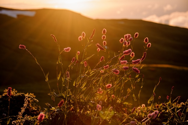 View of the little pink flowers on the field in the blurred background of hill in the golden hour