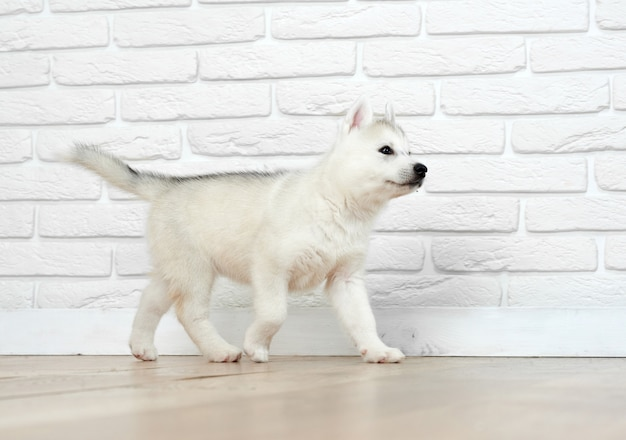View of little puppy husky dog, with blue eyes, playing  and running, going away. siberian dog with carried furry, posing against white brick. funny pet.