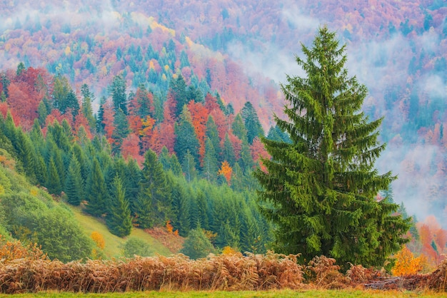 View of majestic mountain forest. gorgeous foggy hill with colorful coniferous trees. concept of nature.