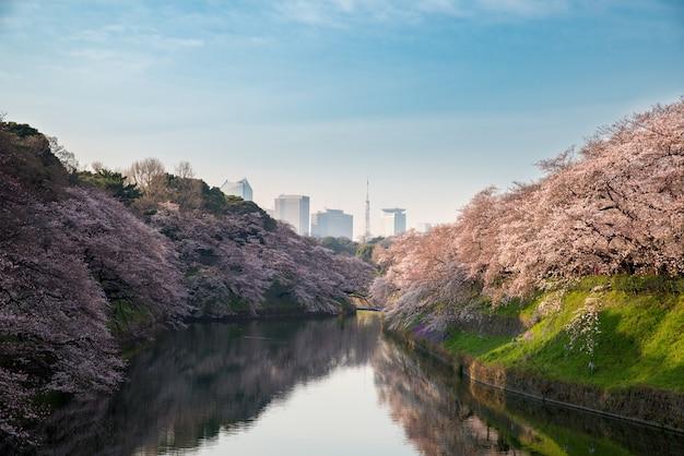 View of massive cherry blossoming in tokyo, japan at chidorigafuchi