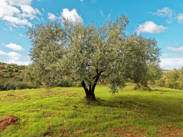 Вид на красивое зеленое оливковое дерево.