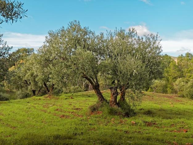 Вид на красивое зеленое оливковое дерево