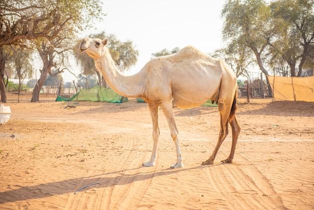砂漠を静かに歩き回るラクダの姿